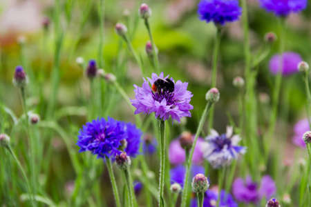 Purple flower of cornflower and bumblebee sitting on it on a blurred background of blue and purple cornflowers, close-up in selective focus