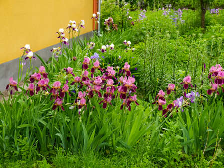 Bushes of flowering irises burgundy color against the other flowers and yellow wall