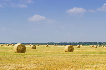 Large round straw bales of a barley on harvested agricultural field on a background of sky