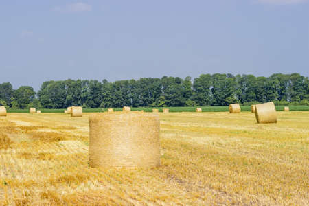 Large round straw bale of a barley lying on the its side on harvested agricultural field against the other same bales Stock Photo