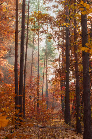 Section of deciduous and conifers forest in foggy autumn morning at backlit