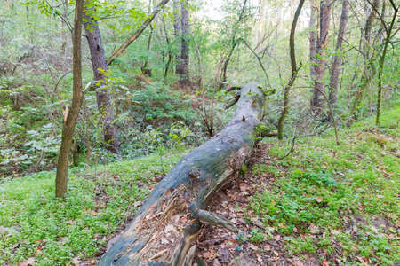 Partly decayed trunk of the fallen tree in the wild forest in summer