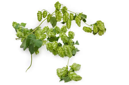 Intertwined branches of hops with seed cones and green leaves on a white background