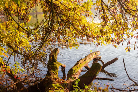 Shore of the pond with rotten snag and overhanging branches over water on a foreground in the autumn early morning
