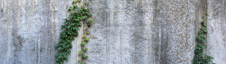 Fragment of the old rough concrete wall slightly overgrown with maiden grapes, panoramic view. Texture, background Imagens