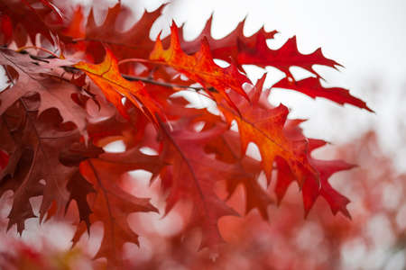 Branches of the northern oak with red autumn leaves close-up on a blurred background in selective focus, background