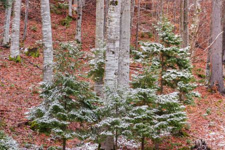 Young fir trees slightly dusted with snow growing in the winter beech forest in cloudy weather Stock fotó