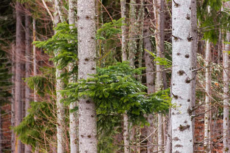 Branch of a spruce slightly dusted with snow among the tree trunks and branches in forest