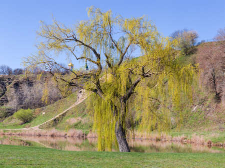Single old willow with young foliage and catkins growing on shore of small lake on a background of hillside and clear sky in springtime