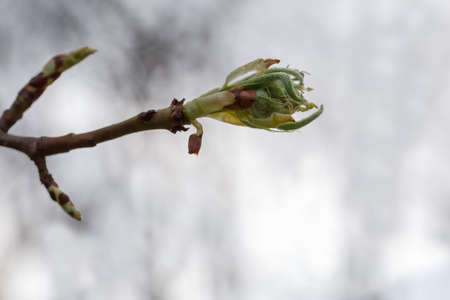Young leaves developing from a bud on branch of deciduous tree on a blurred background, close-up in selective focus