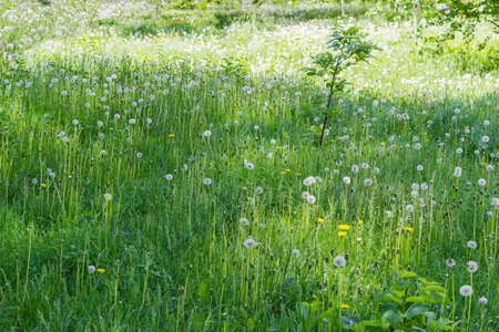 Glade covered with tall grass mixed by dandelions with ripe downy seed heads 版權商用圖片