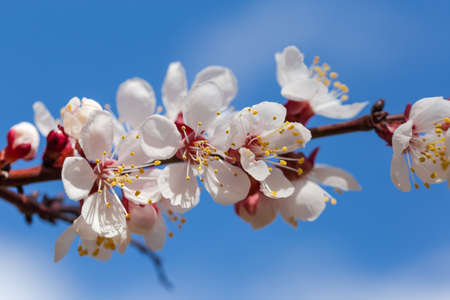 Branch of flowering apricot tree on a blurred background of sky, close-up in selective focus