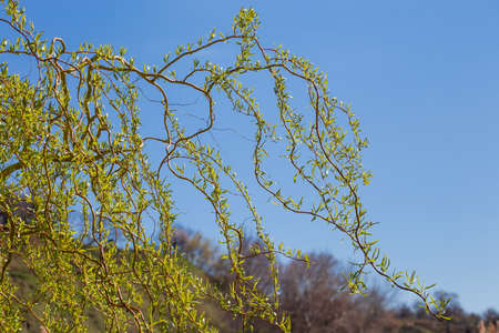 Branches of curly willow with twisted shoots, young leaves and catkins against a clear sky