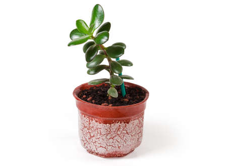 Young Crassula ovata, also known as jade plant or money tree growing in small flower pot on a white background, side view