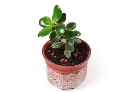 Young decorative plant of the Crassula ovata, also known as jade plant or money tree growing in small flower pot on a white background Standard-Bild