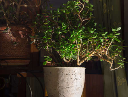 Old Crassula ovata, also known as jade plant or money tree growing in large flower pot, fragment in selective focus with side contrast lighting