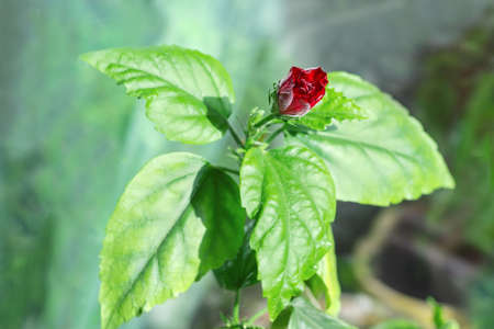 Branch of indoor tea-rose with leaves and partly open dark red flower on a blurred background, close-up in selective focus