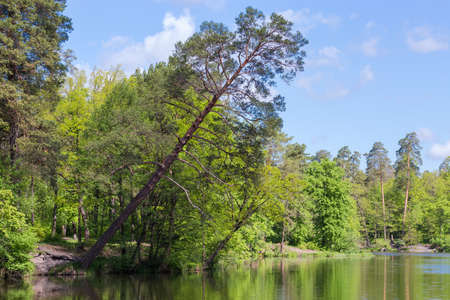 Old pine growing on the shore of a forest lake among the other trees and strongly inclined above the water Stock Photo