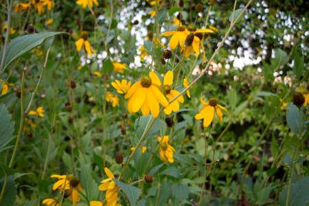 susan: Rudbekia, floral background, yellow flowers, black-eyed susan