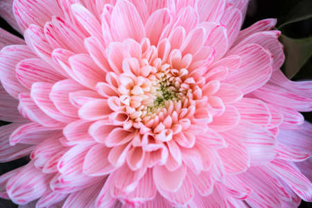 Close up of pink flower aster details for background Stock Photo