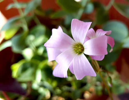 Flower of Oxalis, Burgundy Wine. Oxalidaceae family
