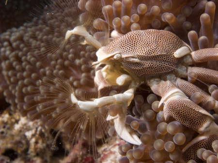 Anemone Crab, Maldives, Underwater photo