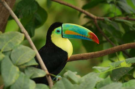 kiel: Keel-billed Toucan