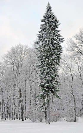 Winter landscape. A high thin harmonous fir-tree among other lower deciduous trees. Snow and hoarfrost. Stok Fotoğraf