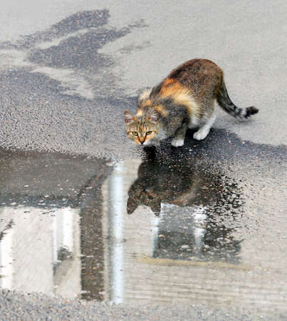Motley homeless cat who drank water from  rain puddle on  sidewalk. The water surface reflects  cat and  wall of  house. Imagens