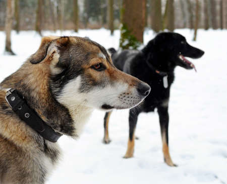 Two dogs in the wood in the winter during light snowfall. Focus on the head of the closest dog.
