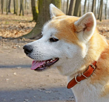 Head of dog breed Akita Inu with red collar against spring park