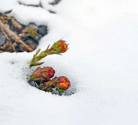 Stalks and buds of coltsfoot have appeared from  thawing snow in  early spring. Plant is since ancient times used as medicinal. Background. Standard-Bild
