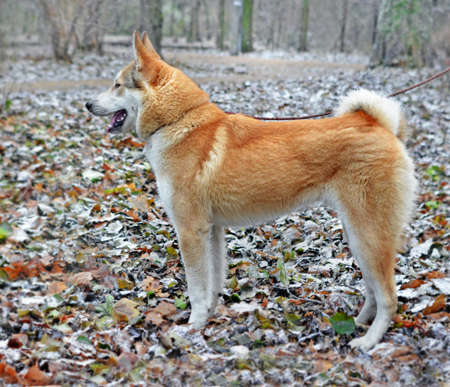 Male young dog of breed the West Siberian laika in a profile in the wood or the park in the early winter Standard-Bild
