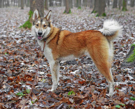 Female young dog of breed West Siberian laika  in  wood or  park in  early winter Standard-Bild