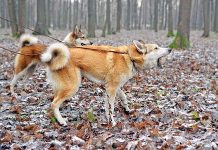 Two young red dogs of breed a West Siberian laika in the wood in the early winter or late fall. One of them barks. Focus on the head and shoulders of the closest dog. Side view full length. Standard-Bild