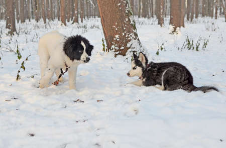 Meeting of two puppies in the winter park. A small landseer cheerfully invites the lurking little Siberian husky to play.