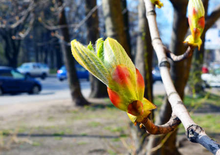 blossoming a horse-chestnut bud against blur street with car traffic.