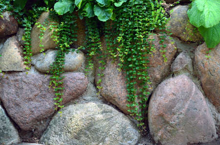 Green plants hang down from a wall from big stones