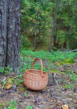 Wattled basket for mushrooms on the ground near a trunk of a big pine among cones, needles and branches of cowberry in autumn forest Standard-Bild
