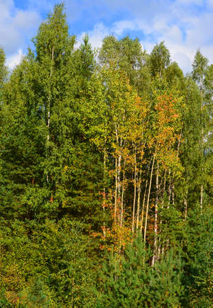 early autumn in forest. leaves on some trees began started turning yellow, reddening, falling down.