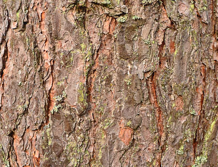 fragment of the bottom of the trunk of a pine close-up. bark thick, scaly, gray-brown, with deep cracks and moss.