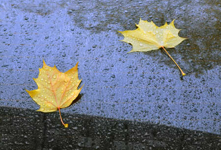 Yellow autumn maple leaves, drops of a rain and reflection of crowns on the case of the dark car. Reklamní fotografie