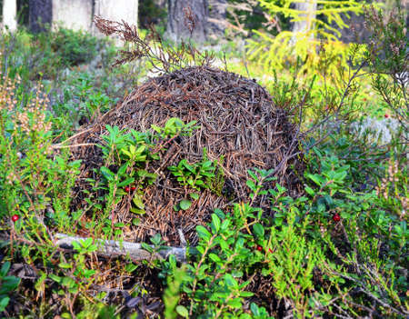 ant hill in the forest among heather and cowberry bushes
