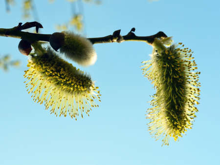 three inflorescences of a willow against the blue sky and blur of branches with other inflorescences