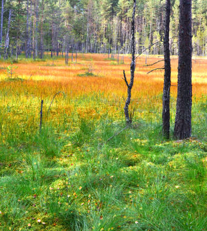 swamp in the forest in autumn. Stock Photo