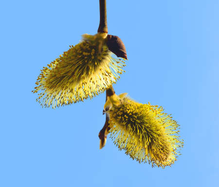 two beautiful yellow inflorescences of a willow on a branch against the blue sky in the spring