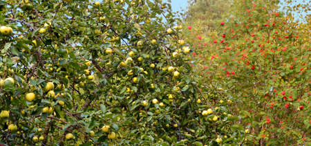 a lot of big flavovirent heavy apples on an apple-tree in the forefront. in the distance a mountain ash with clusters of red berries.