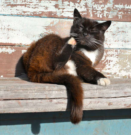 black and red sleepy lazy squinting cat scratches his head of back paw on a wooden bench