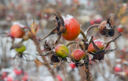 Snowflakes lie on red and green hips in the early winter. Background with dogrose bushes and snow blurred.