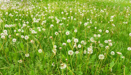 wide green field with white fluffy dandelions.